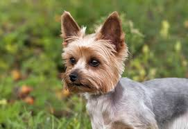 silky terrier hair cut animals yorkshire terrier stock photos and pictures