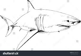 attacking great white shark snarling mouth stock vector 701882473