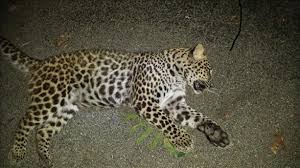 leopard killed in indiana natural history