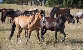 Black Mustang Horse Pictures History Of Wild Horses