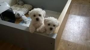 bichon frise kennels bichon frise male pup kennel club registered somerton somerset