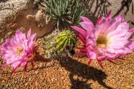 arizona flowers arizona springtime cactus flowers the roaming boomers