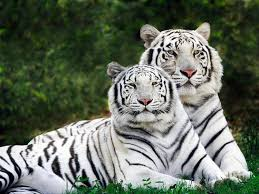 white tigers are made freaks business insider