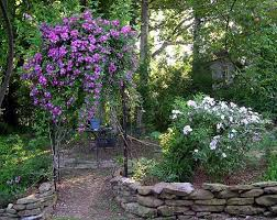 Climbing Plants For North Facing Walls - another picture of veilchenblau she can climb a tree or wend up a