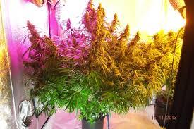 growing autoflower with led lights dutch passion automazar grow review dutch passion