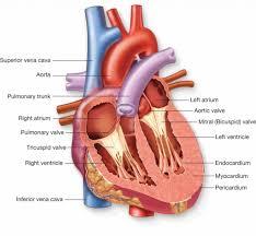 Diagram Heart Anatomy Interior Of The Heart Diagram Heart Anatomy Interior View Diagram