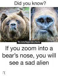 Sad Bear Meme - did you know fbcomlegendaryfacts if you zoom into a bear s nose you
