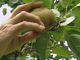 how to grow asian pears how tos diy