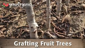 grafting fruit trees with dave wilson nursery organic gardening blog