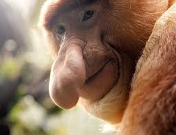 Big Nose Meme - funny monkey big nose meme generator