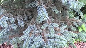 blue spruce colorado blue spruce tree