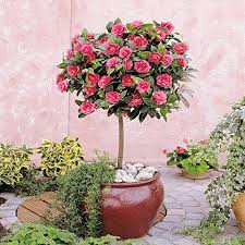 Flowering Patio Plants Patio Plants Amazon Co Uk