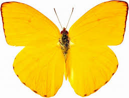 download free beautiful butterfly images with flowers hd the