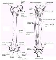 Dog Anatomy Front Leg Bone Structure Of A Dog Human Anatomy Diagram