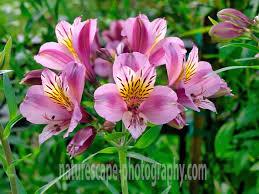 peruvian lilies lavender peruvian lilies alstroemeria