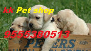 boxer dog quikr vaishali sector 2 available all types of dog breed pups in ahinsa
