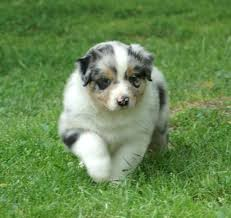 65 lb australian australian shepherd australian shepherd dogs pets cute and docile
