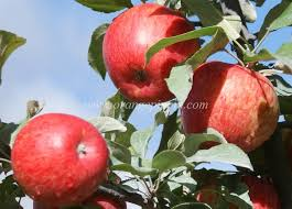 Judge A Tree By Its Fruit - apple honeycrisp tasting notes identification reviews