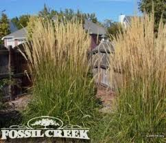ornamental grasses provide and movement in colorado