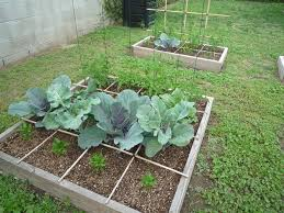 vegetable garden in the backyard with broccoli growing broccoli