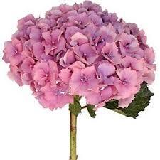 pink hydrangea light pink hydrangea