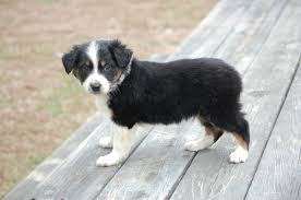 australian shepherd puppy training australian shepherd aussie dogs 101 interesting facts