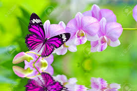 a beautiful pink butterfly on orchids flowers in water stock photo