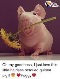 Shaved Guinea Pig Meme - 25 best memes about guinea pigs guinea pigs memes