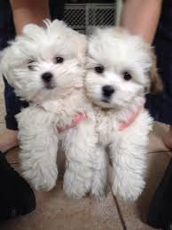 teddy bear dog rescue teddy bear puppies for sale teddy bear