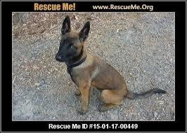 adopt a belgian sheepdog belgian malinois blog u2015 rescueme org
