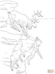 peary caribou coloring page free printable coloring pages