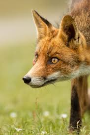 132 best fox head profile images on pinterest red fox animals