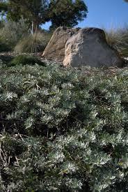 native australian ground cover plants eremophilas as ground cover eremophila u0027kalbarri carpet u0027 mallee