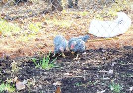 my chicken ate a whole snake backyard chickens