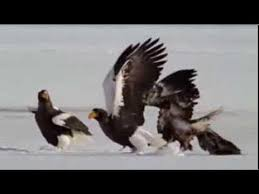 stellers sea eagle wallpapers steller u0027s sea eagles survival of the toughest youtube