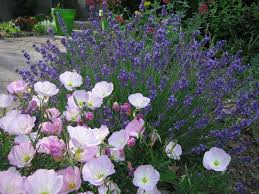 When Is Lavender In Season In Michigan by Journeys And Jonquils Plant Care Profile Pink Evening Primrose