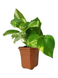 Best Plants For Bedrooms Plants Store Buy Plants Online At Best Prices In India Browse