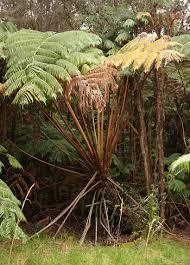 cibotium spp hapu u hawaiian tree fern manfern hawaiian