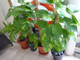 plant for office desk indoor potted plants noida greater noida
