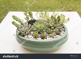 royalty free succulent plants re potted and arranged u2026 300336002