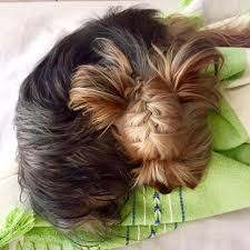 haircuts for yorkie dogs females yorkie hairstyle yorkies pinterest yorkie hairstyles yorkies