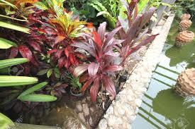 Nong Nooch Tropical Botanical Garden by Big Vinous Red Tropical Flowers In Pots In The Nong Nooch Tropical