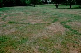 fairy ring and mushrooms in lawns lawn talk university of