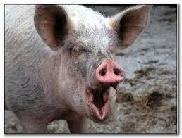 Funny Pig Memes - pig memes imgflip