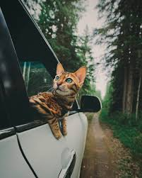 how to travel with a cat images This adventurous bengal cat loves to travel all around the world jpg