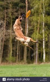 belgian shepherd nature belgian shepherd malinois dog jumping for flying disc