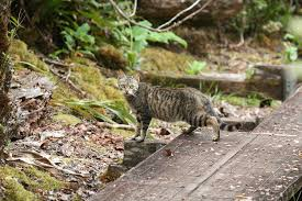 Hawaii wild animals images Maui forest bird recovery project feral wild cats jpg