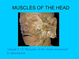 muscles of the head upload 8 18 u201cmuscles of the dead worksheet