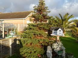 christmas tree needles turning brown gardening forum
