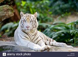 images of white tiger with blue impremedia